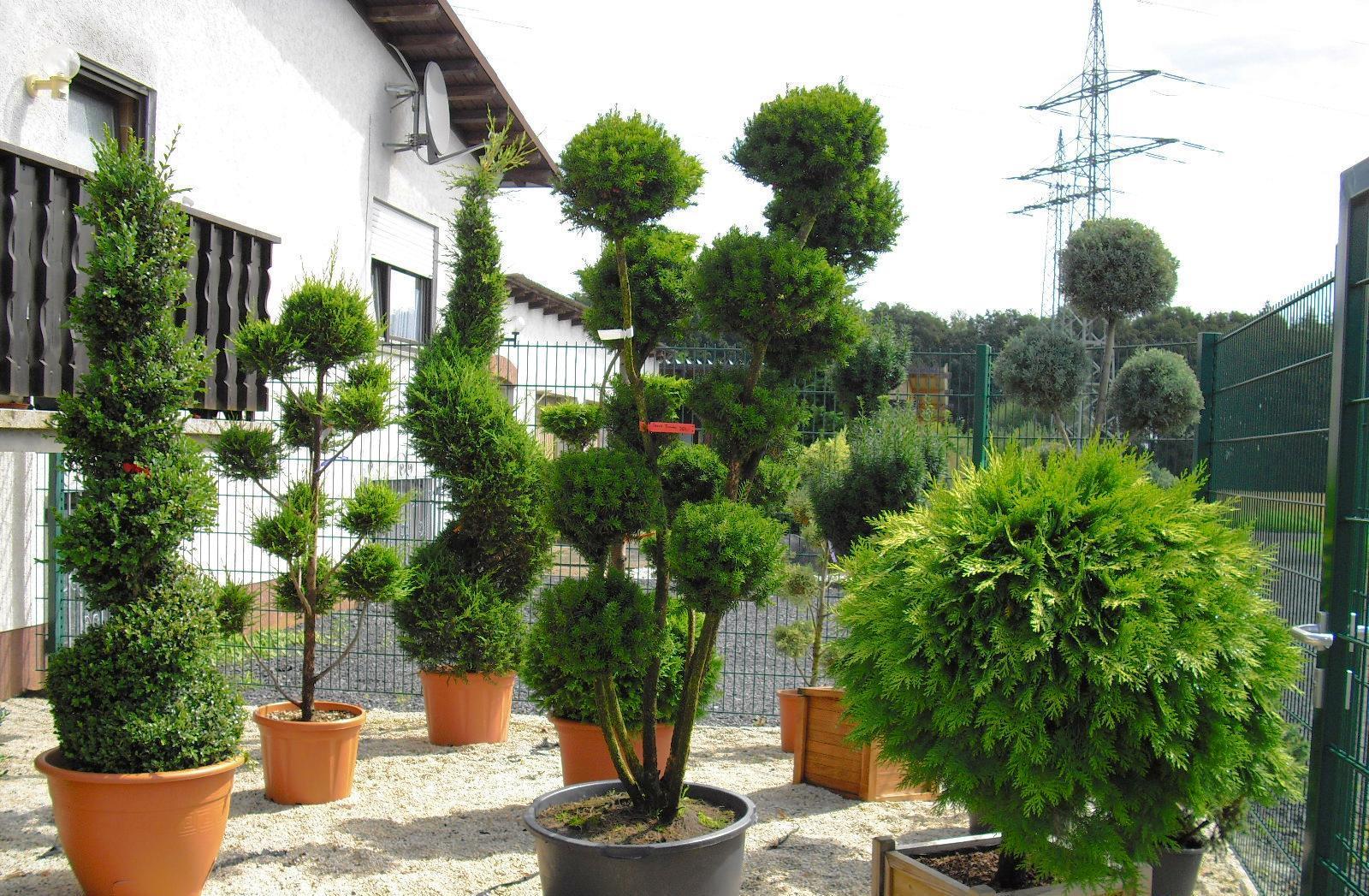 Japanische Bäume Für Den Garten Kaufen Moderne Zier And
