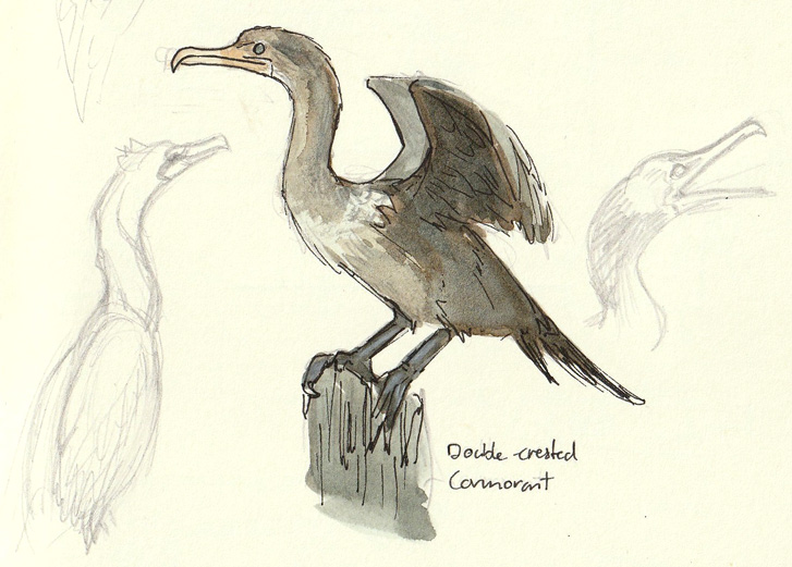 cormorant sketches