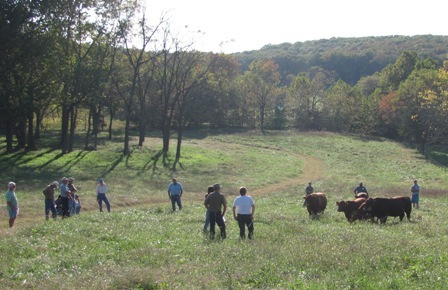 Sassafras Valley Ranch | South Poll Cattle - Pasture Walk