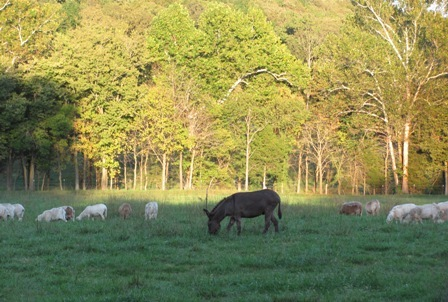 Sassafras Valley Ranch | South Poll Cattle - Hair Sheep & Goats