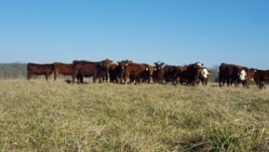 Sassafras Valley Ranch   South Poll Cattle - Hair Sheep & Goats