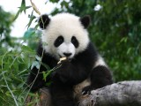 Giant Pandas Pgcps Mess Reform Sasscer Without Delay