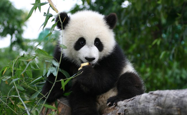 Giant Panda And The Bamboo Prince George S County