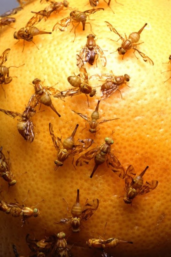 How to get rid of fruit flies with cider vinegar