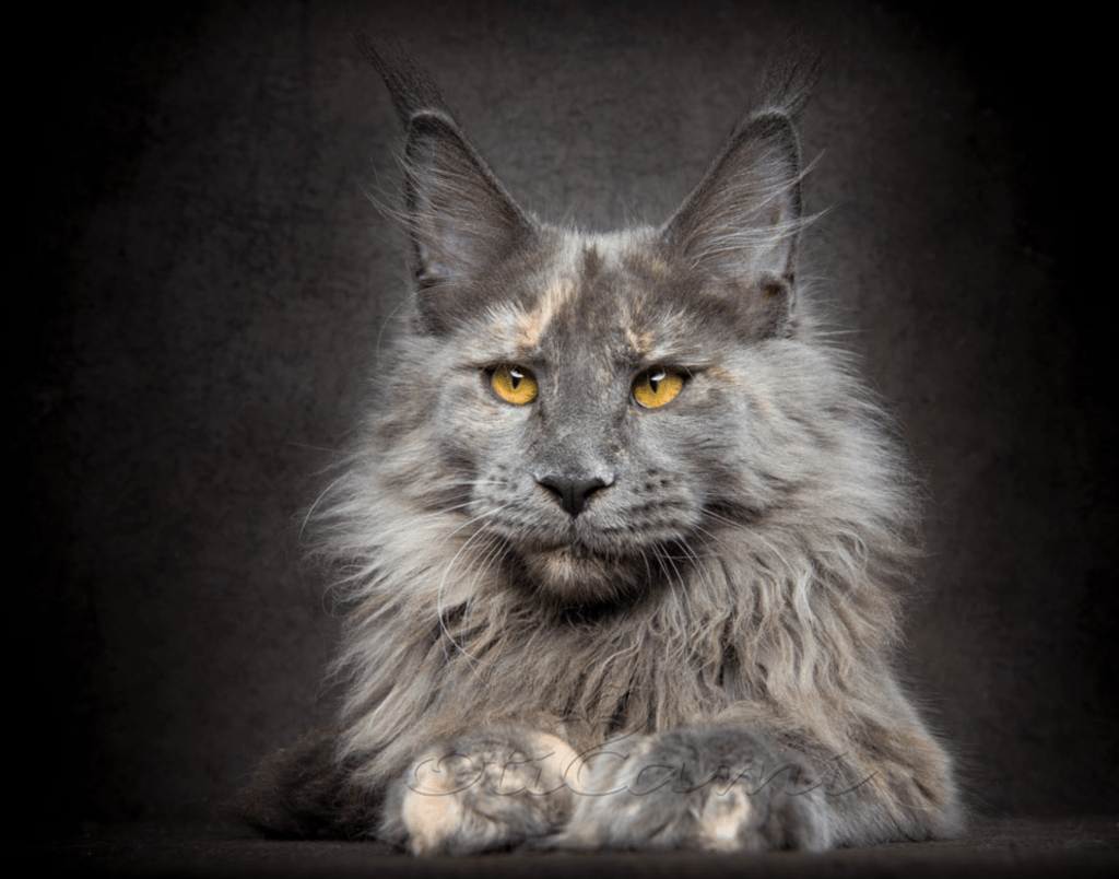 european maine coons