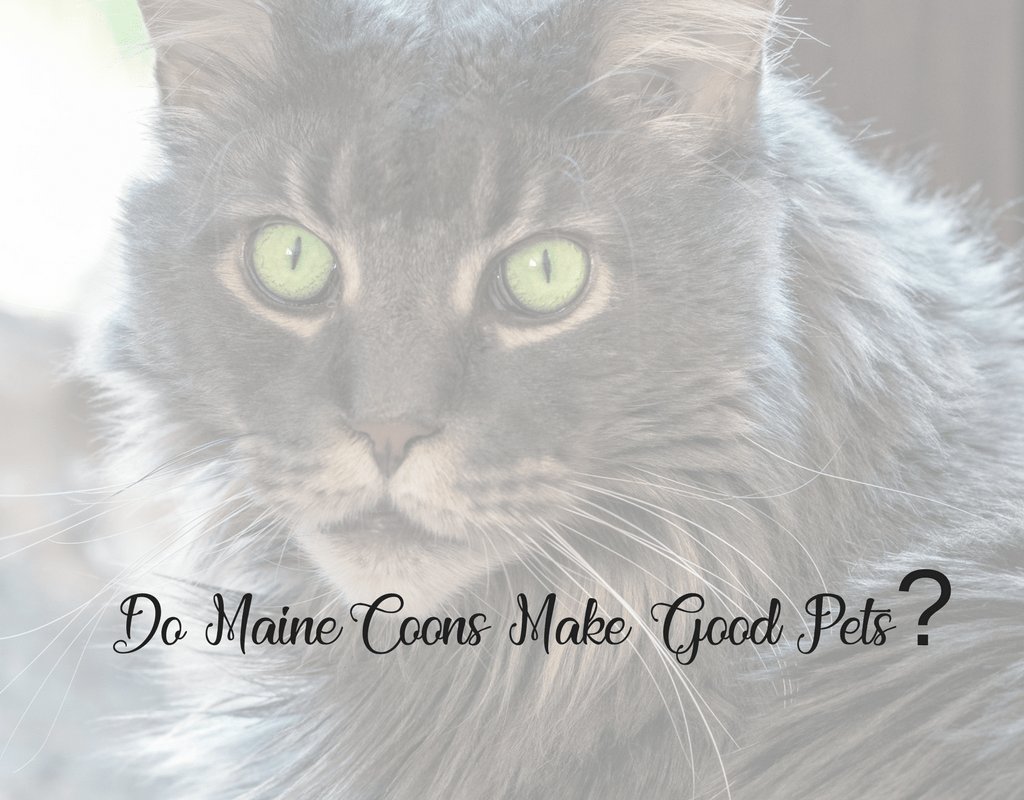 Do Maine Coon Cats Make Good Pets?