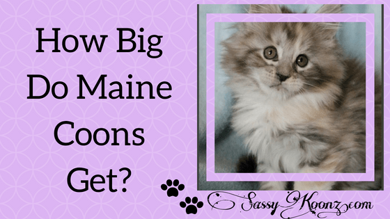 How Big Do Maine Coon Cats Get