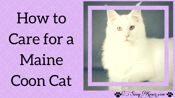 how to care for a maine coon