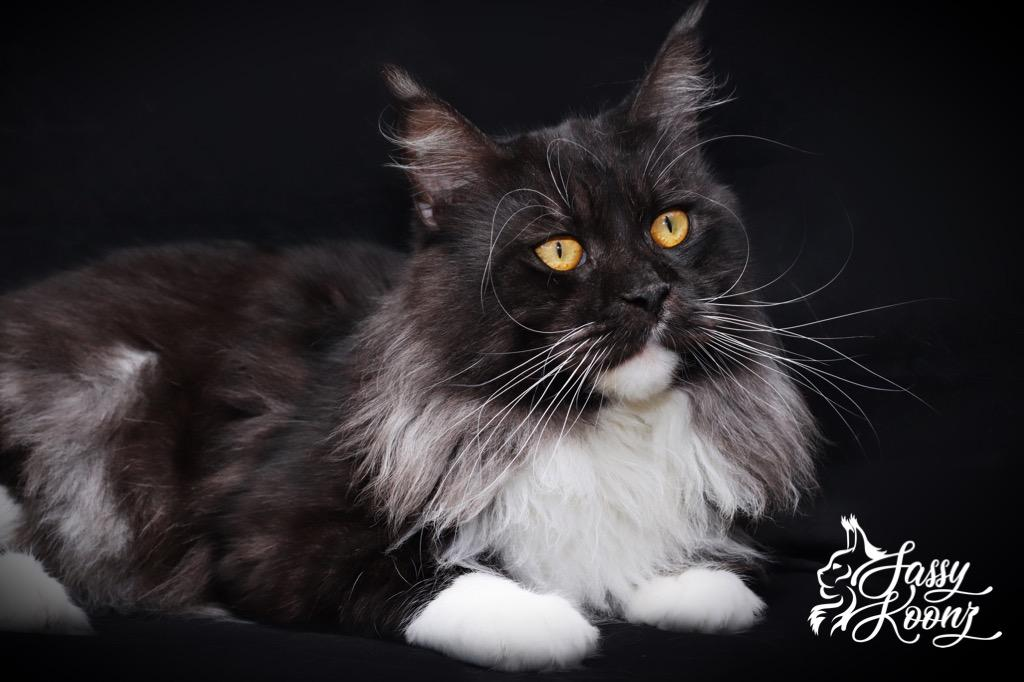 Black smoke Maine coon male
