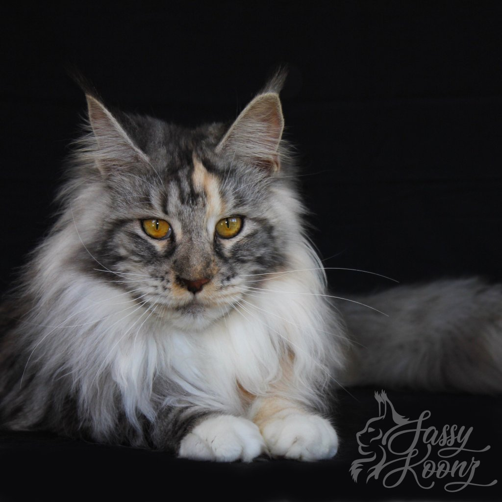 Beautiful Maine Coon Queen