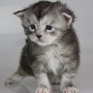 Maine Coon kitten for sale Jacksonville fl