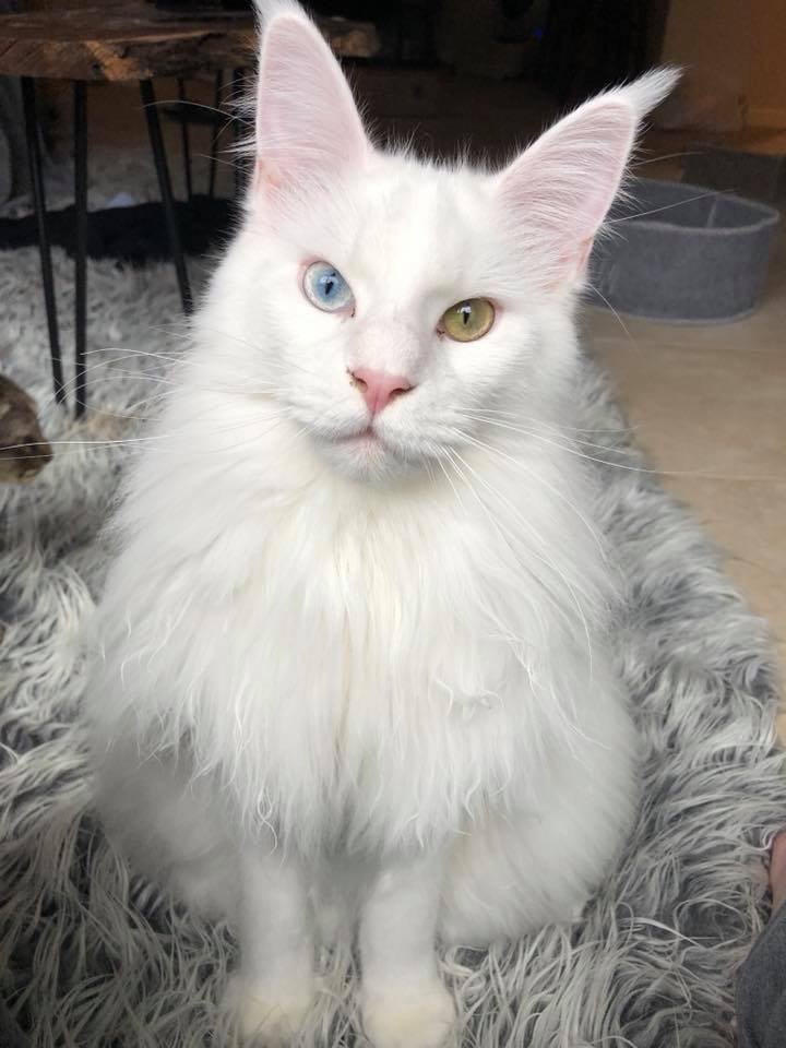 white maine coon cat with odd eyes