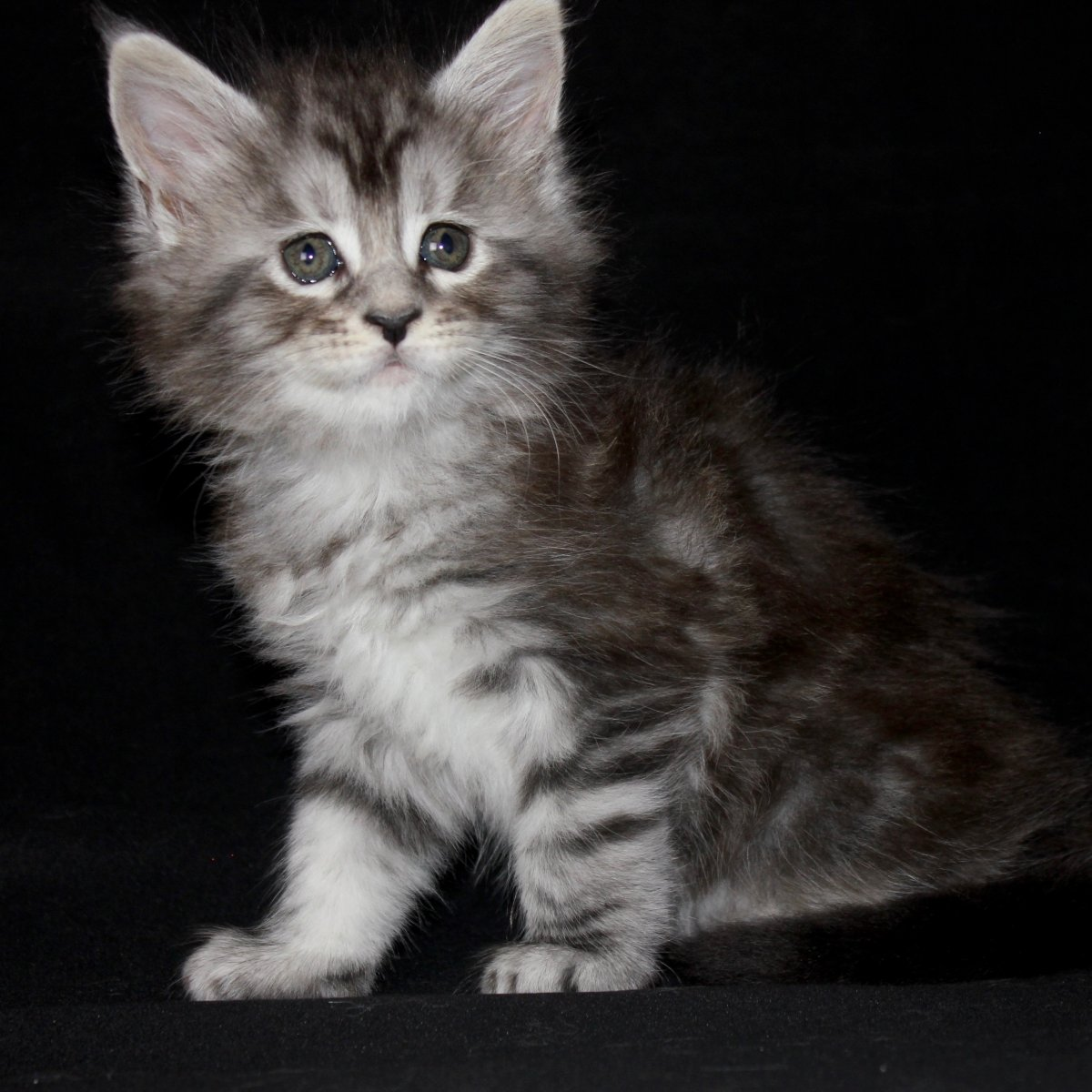 black silver maine coon