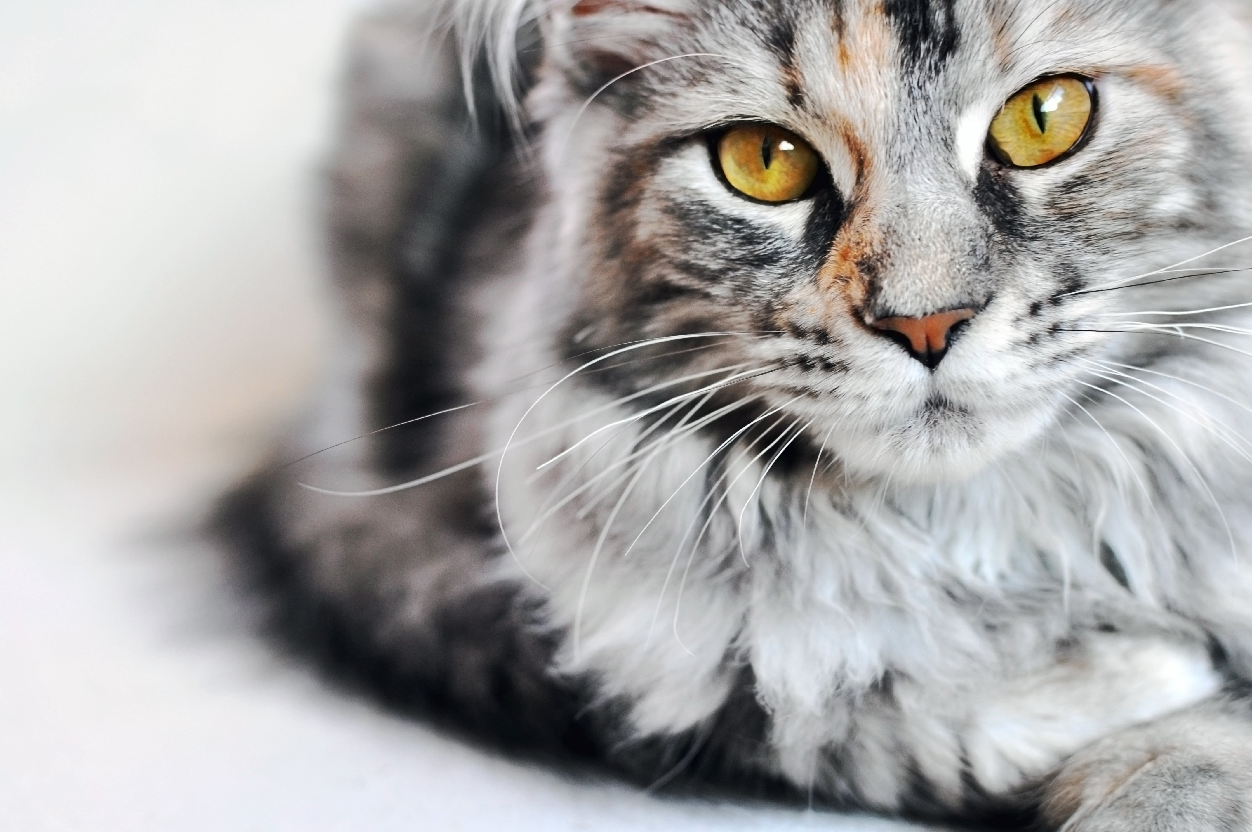 History of the Maine Coon Cat