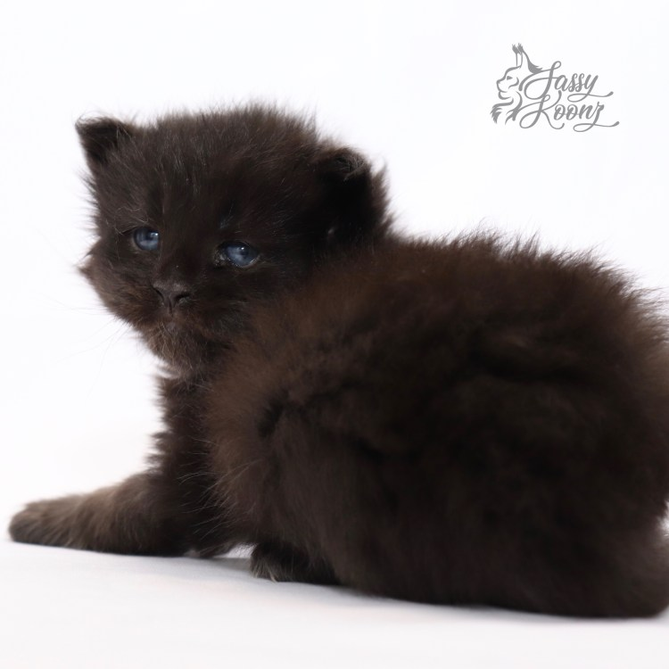 solid black maine coon