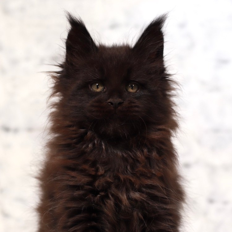 gorgeous Maine Coon kitten