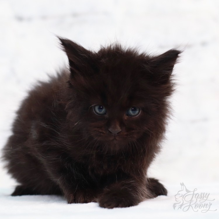 black maine coon kitten