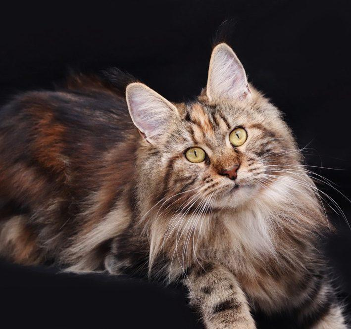 black torbie maine coon