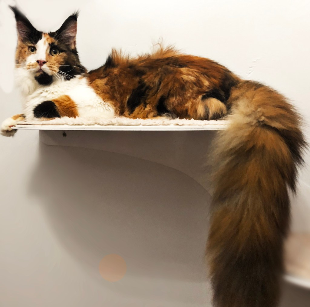 maine coon with fluffy tail