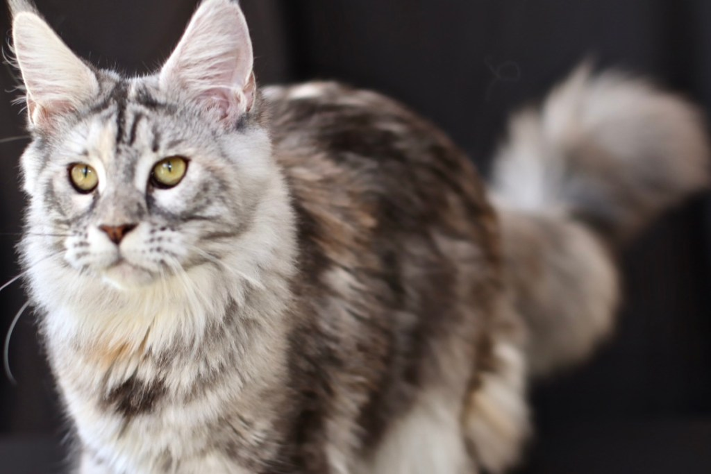 maine coon north carolina