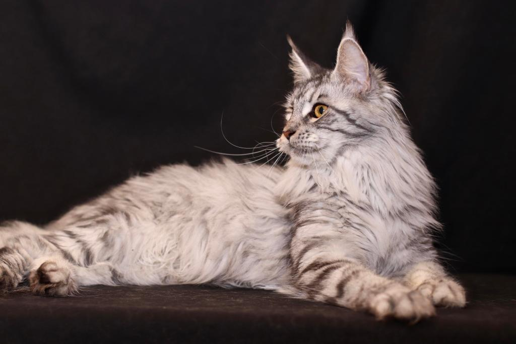 black silver mackeral tabby Maine Coon