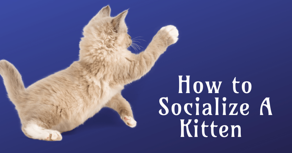 how to socialize a kitten