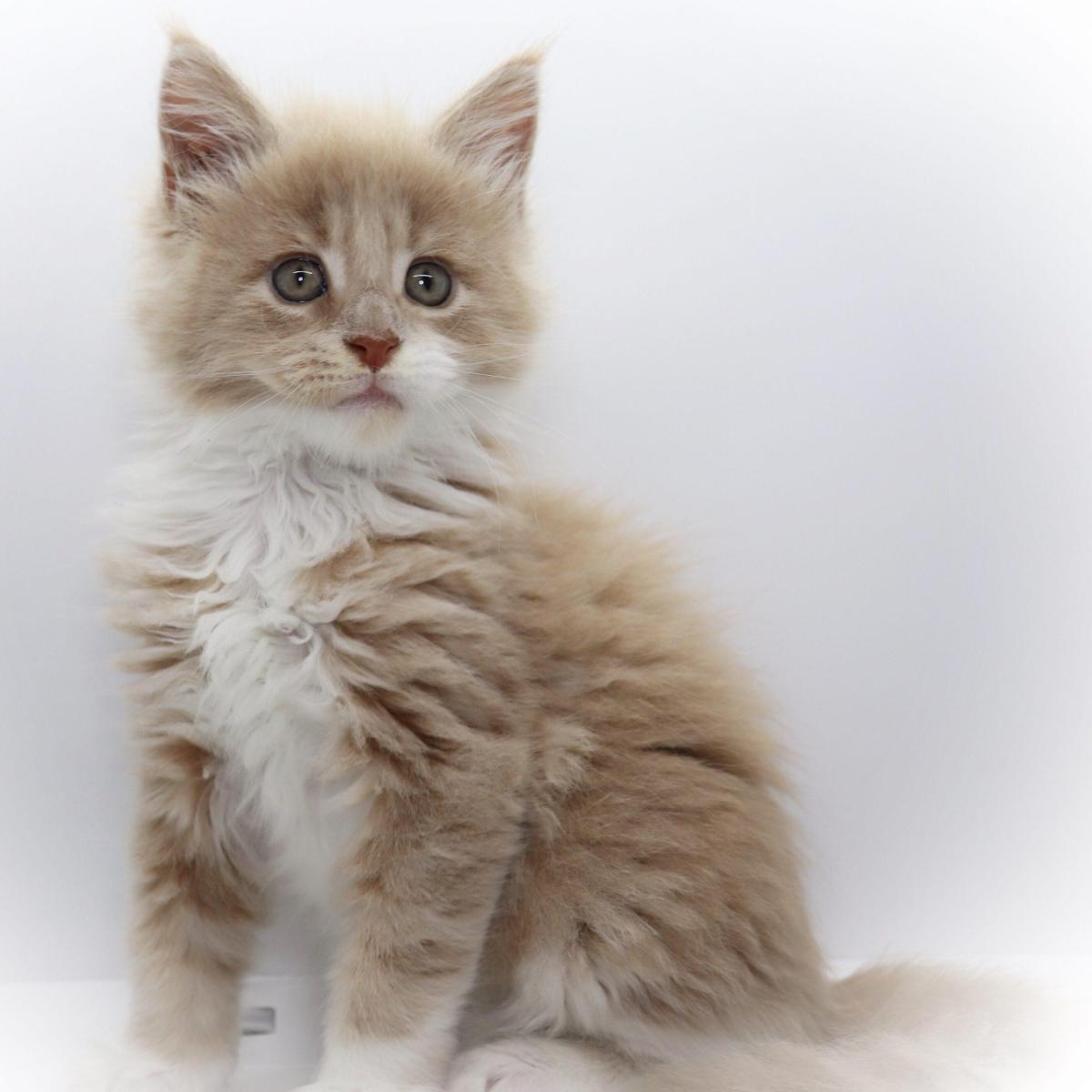 creme tabby white maine coon