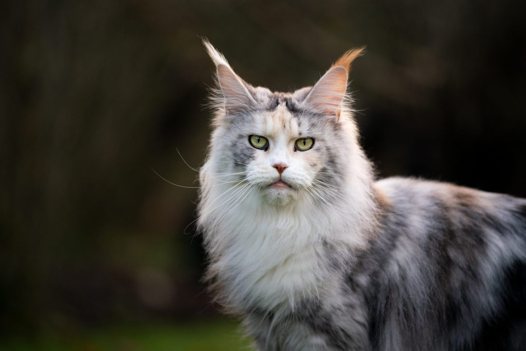 healthy maine coon