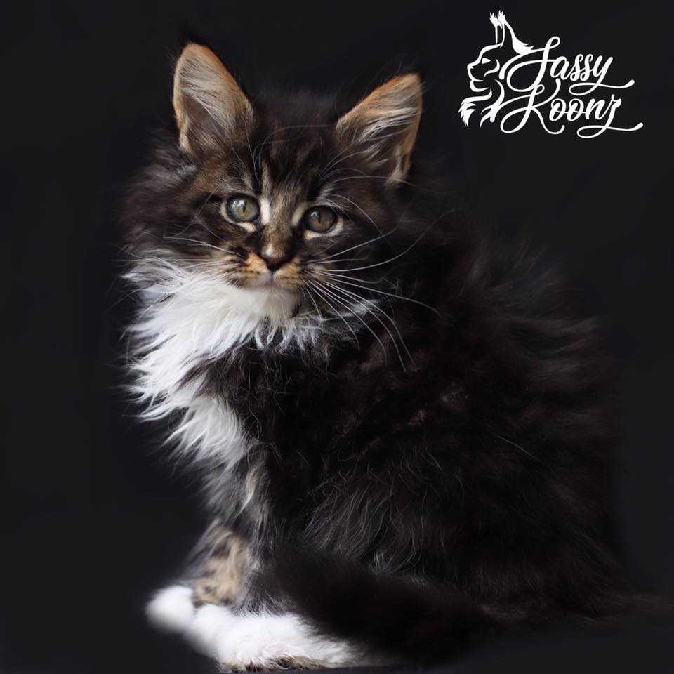 pretty maine coon kitten