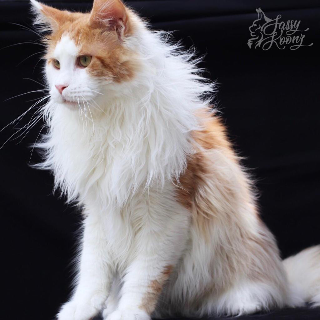 Red Smoke and White Sire Maine Coon