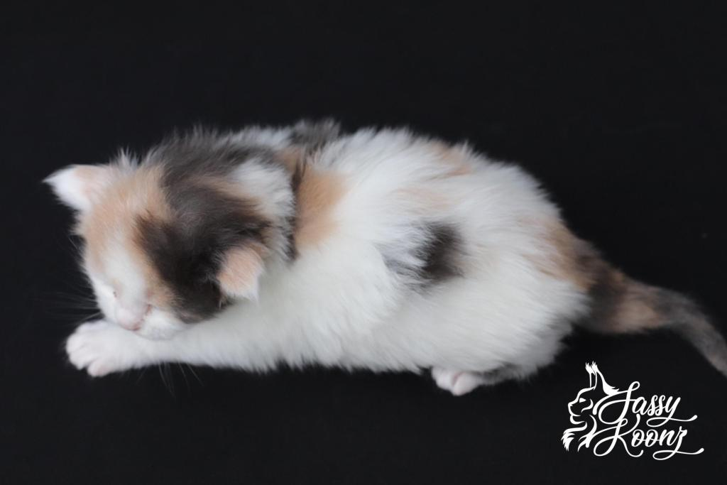pretty maine coon kittens