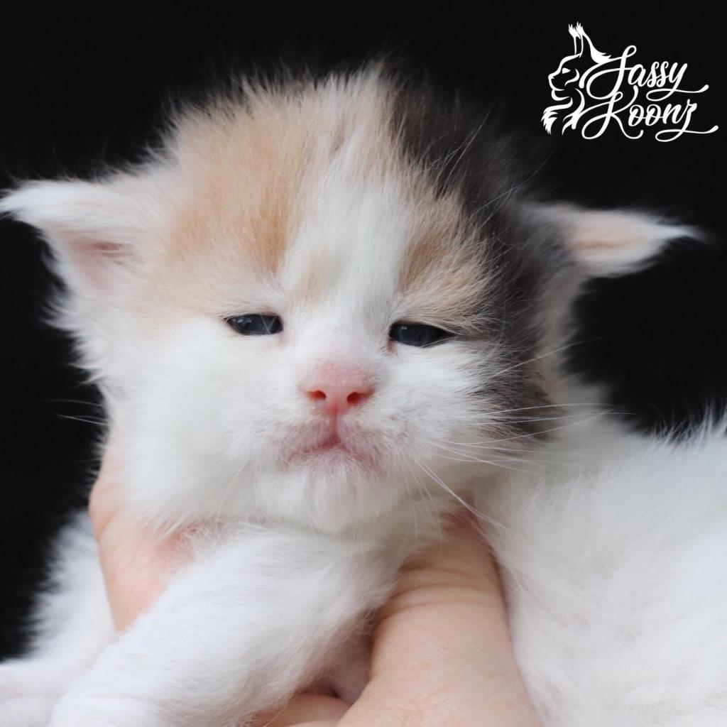 big maine coon cats for sale
