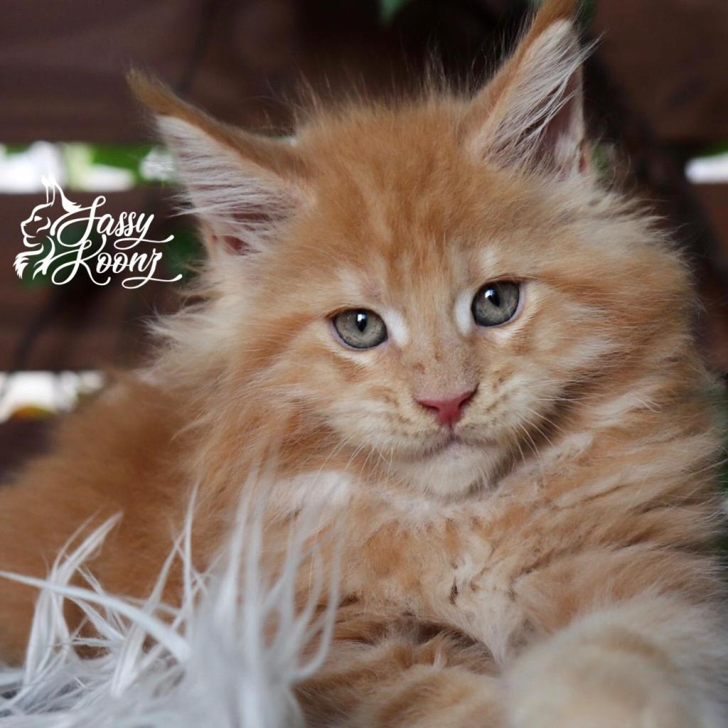 orange kitten maine coon