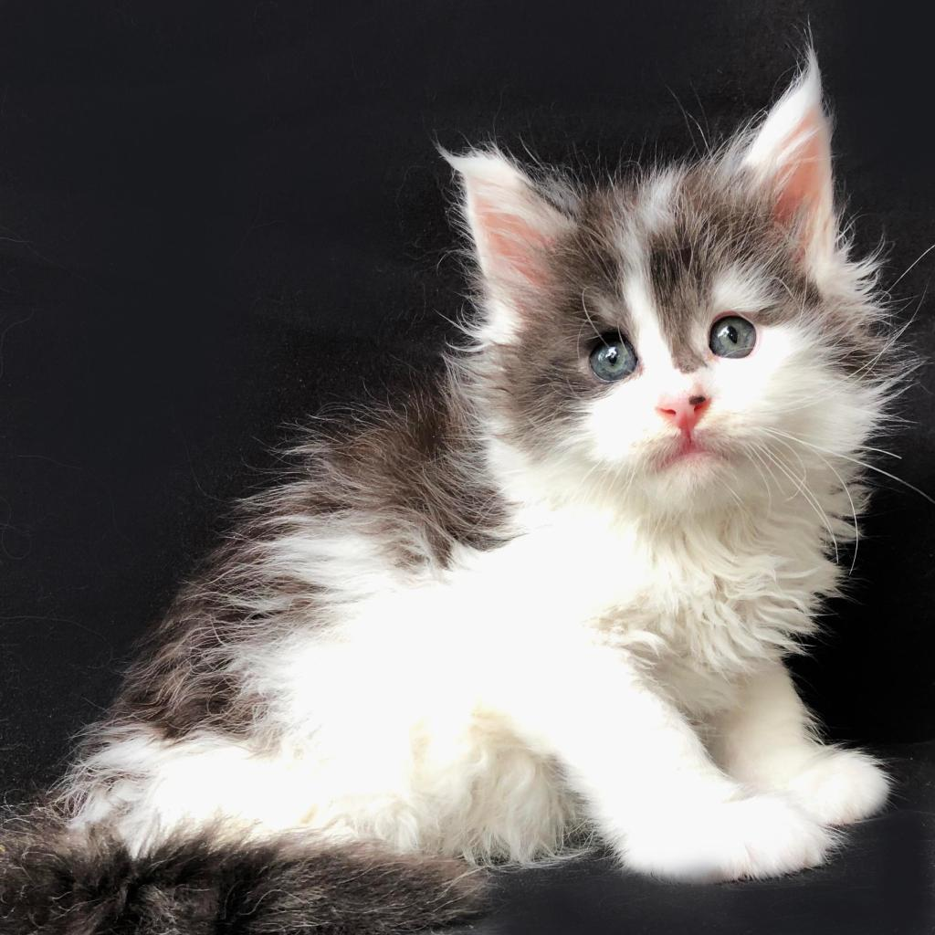 best maine coon kitten breeders