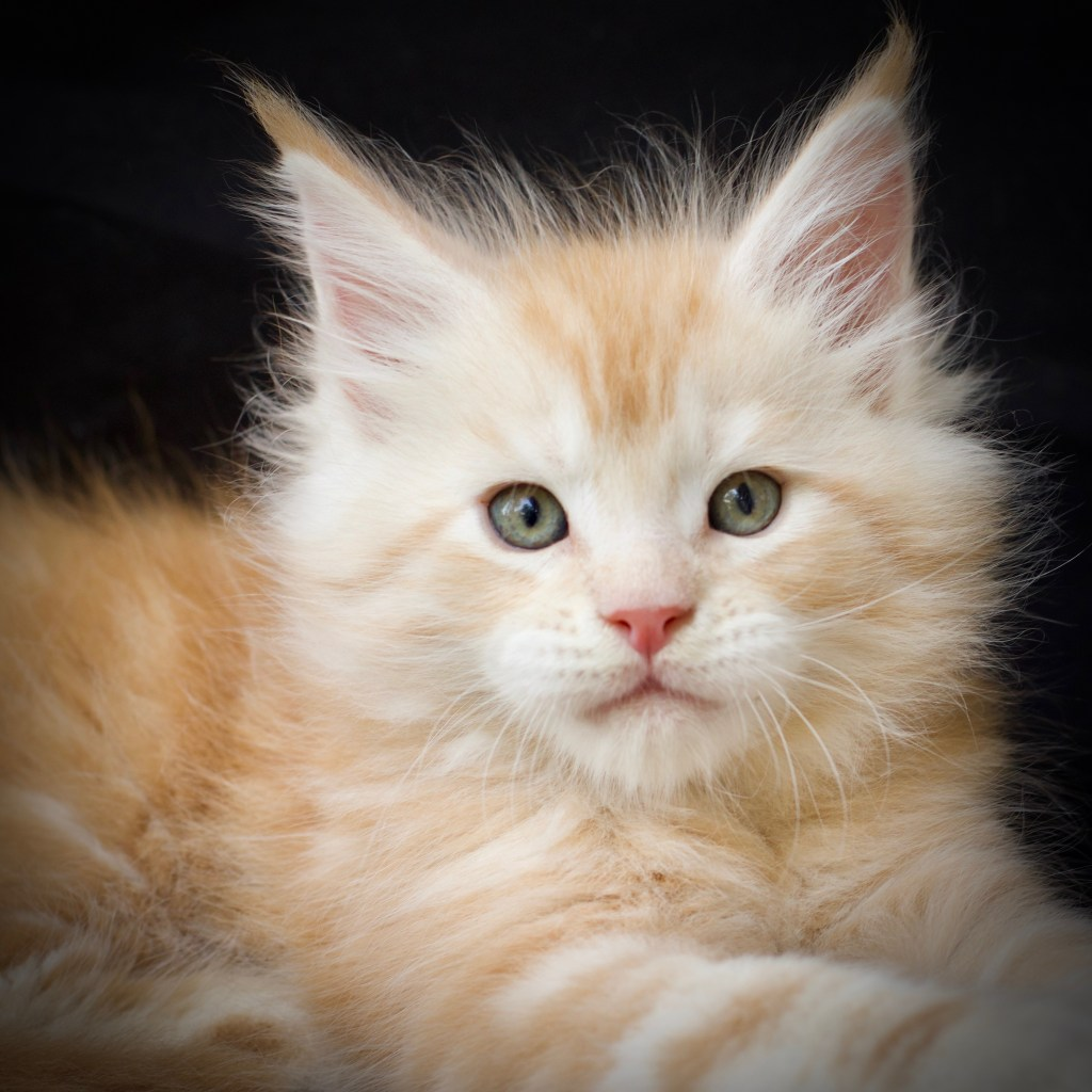 buy a maine coon kitten