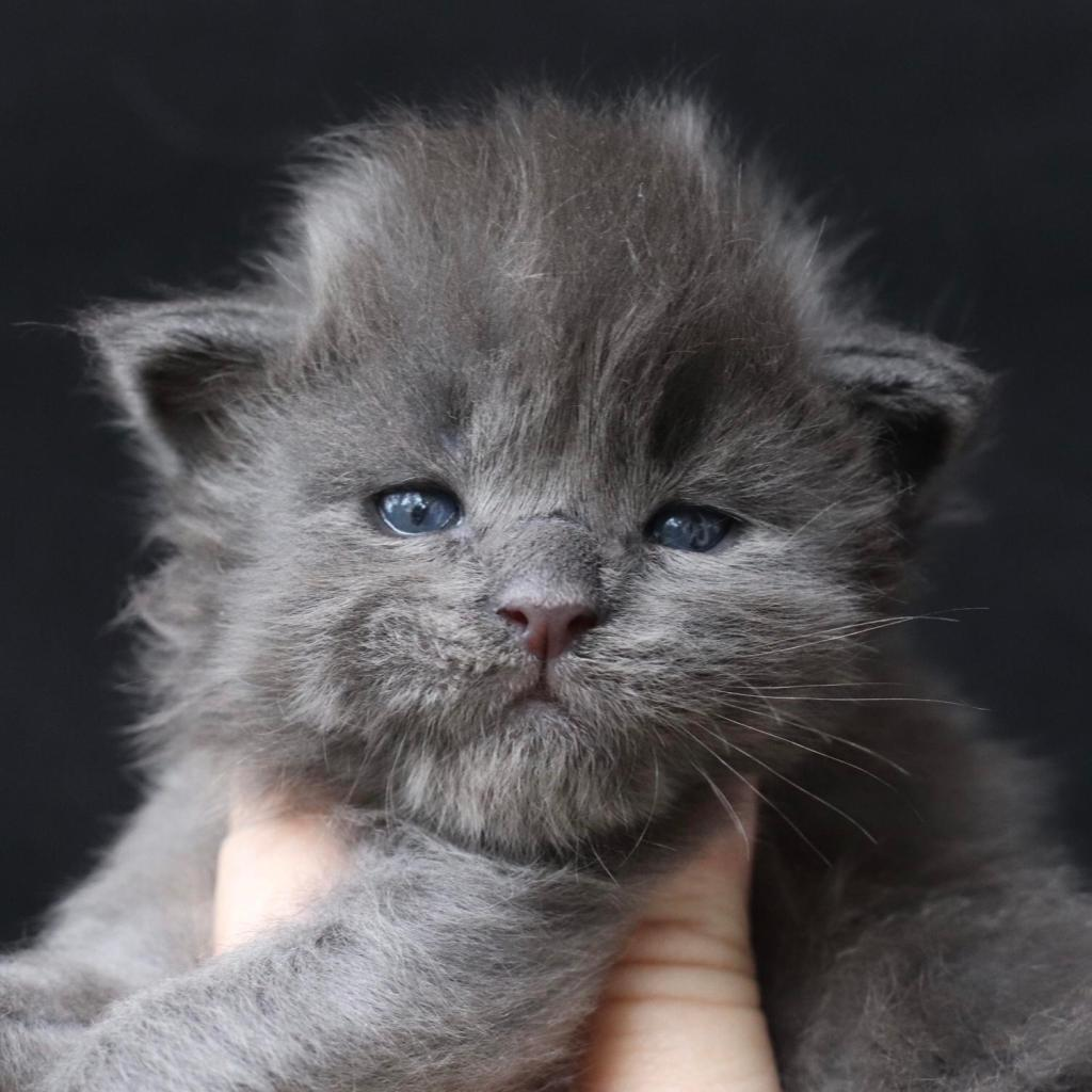 blue maine coon kittens