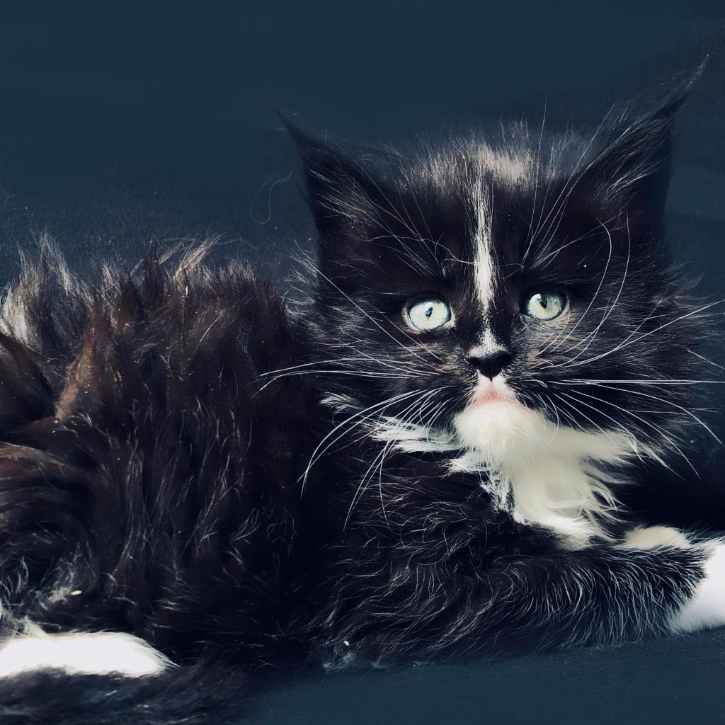 giant maine coon kittens