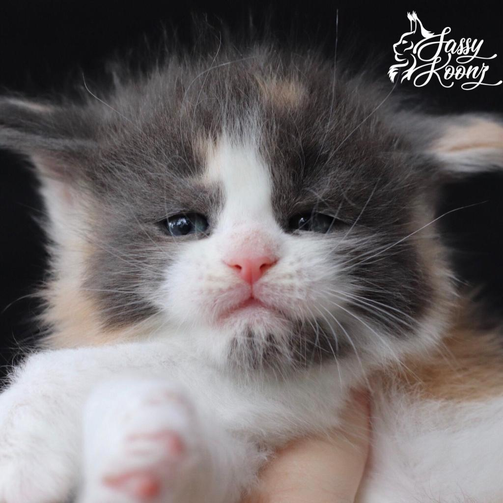 Blue calico Maine coon kitten
