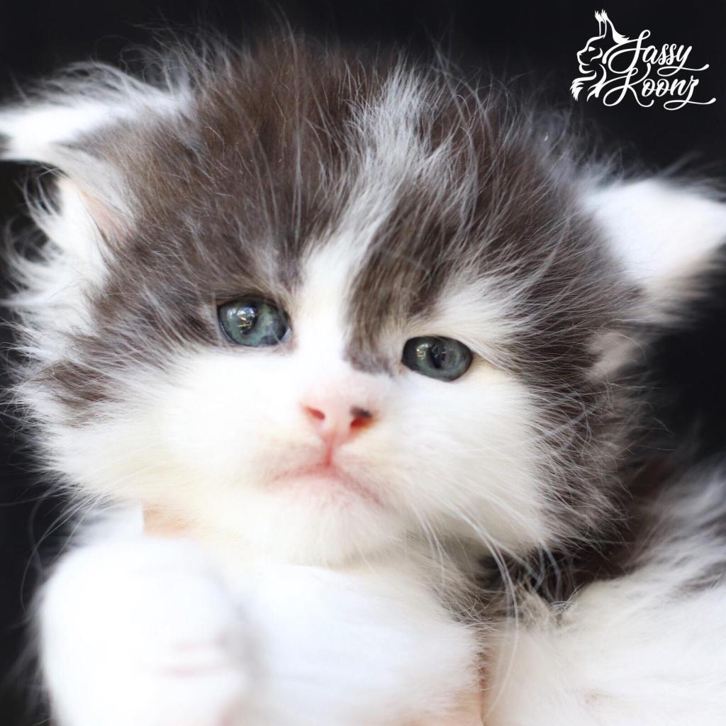 Cute Maine coon kitten photos