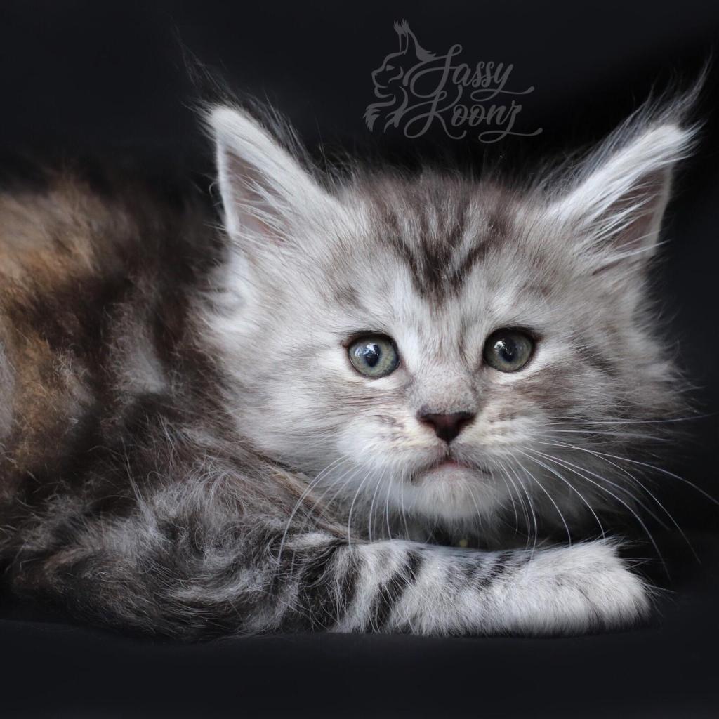 European Maine coon kitten