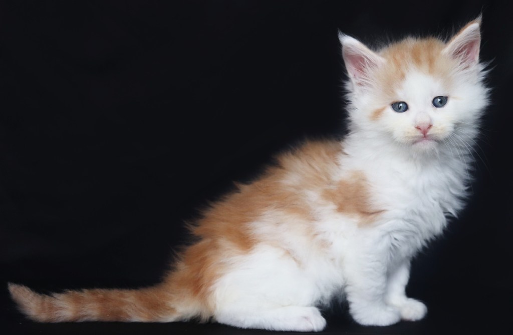 res silver and white maine coon