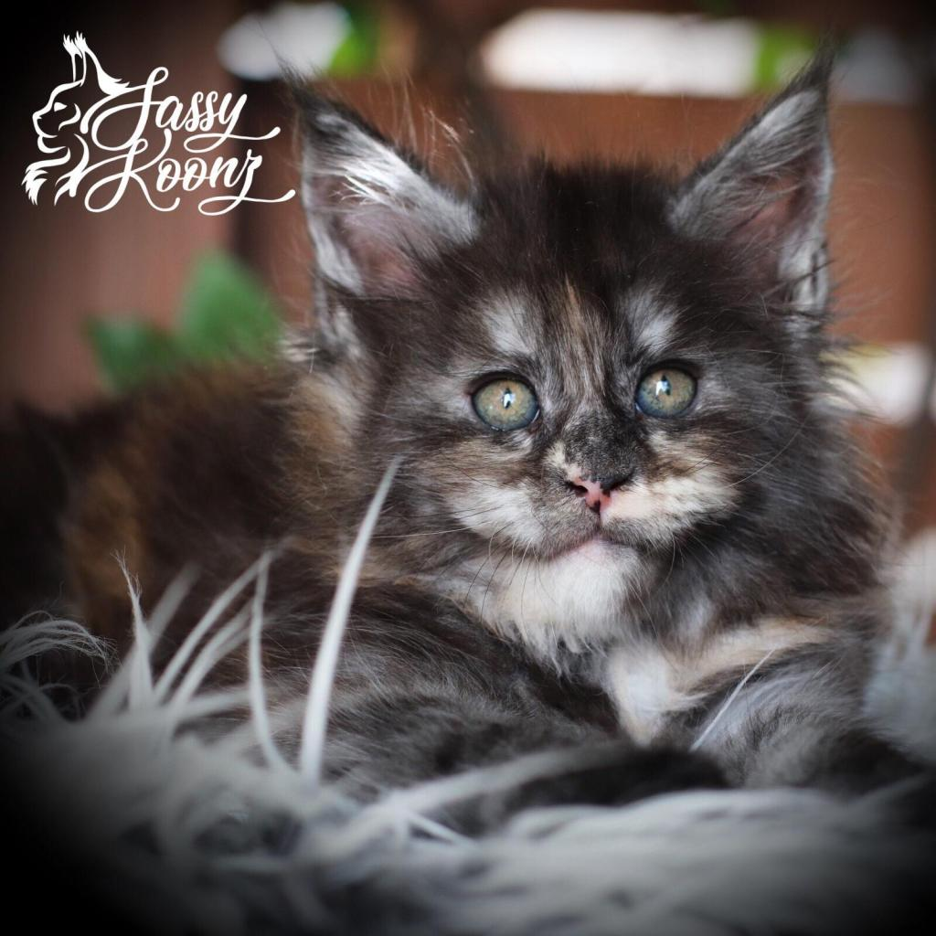 black smoke tortie maine coon kitten