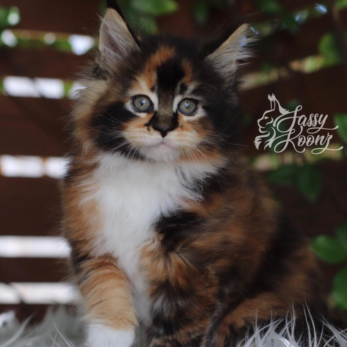 breed quality maine coon kittens