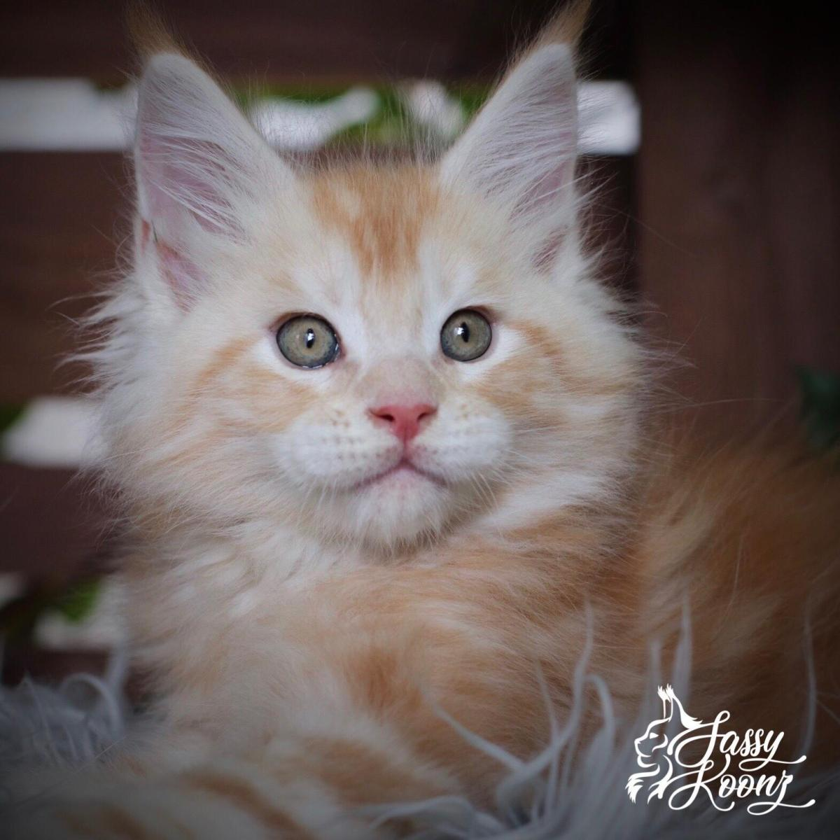 Maine coon kittens for sale with breeding rights
