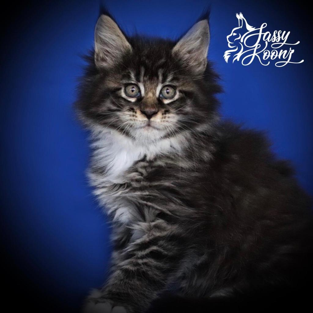 black classic tabby with white maine coon kitten