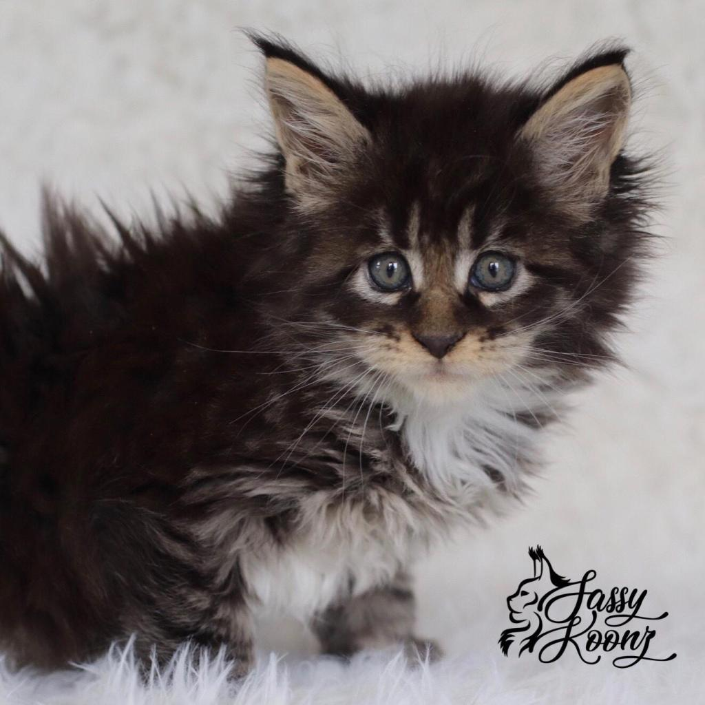 brown maine coon tiger