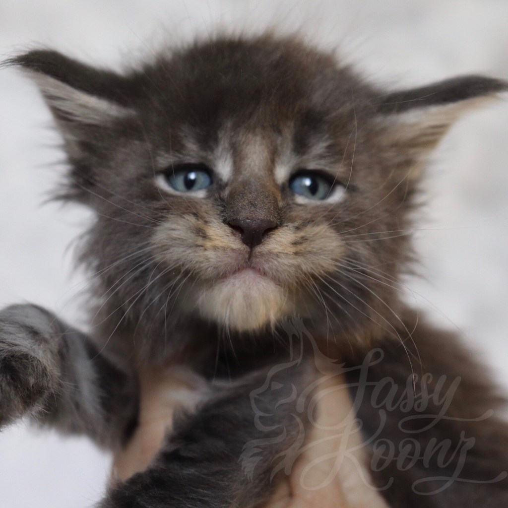 Florida Maine Coon kittens