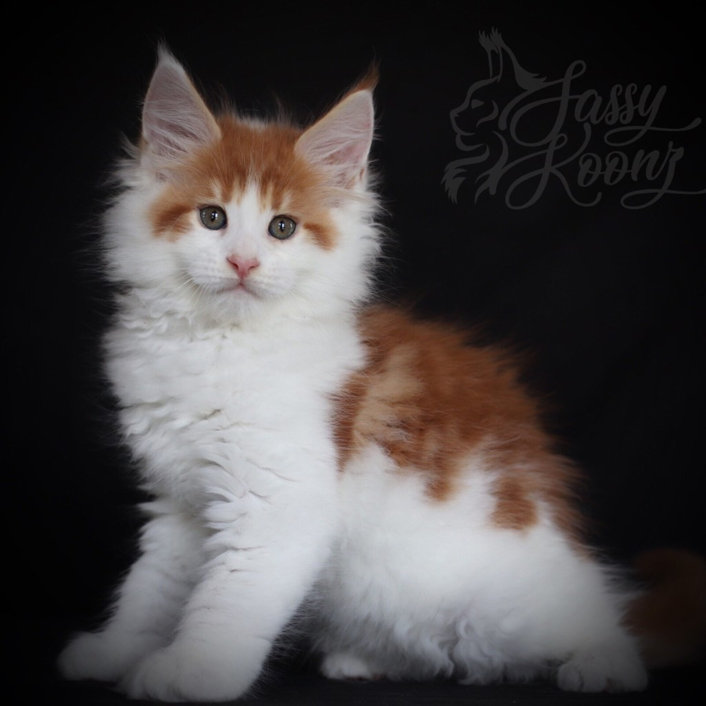 european maine coon kittens for sale