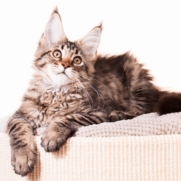 what is the temperament of a maine coon