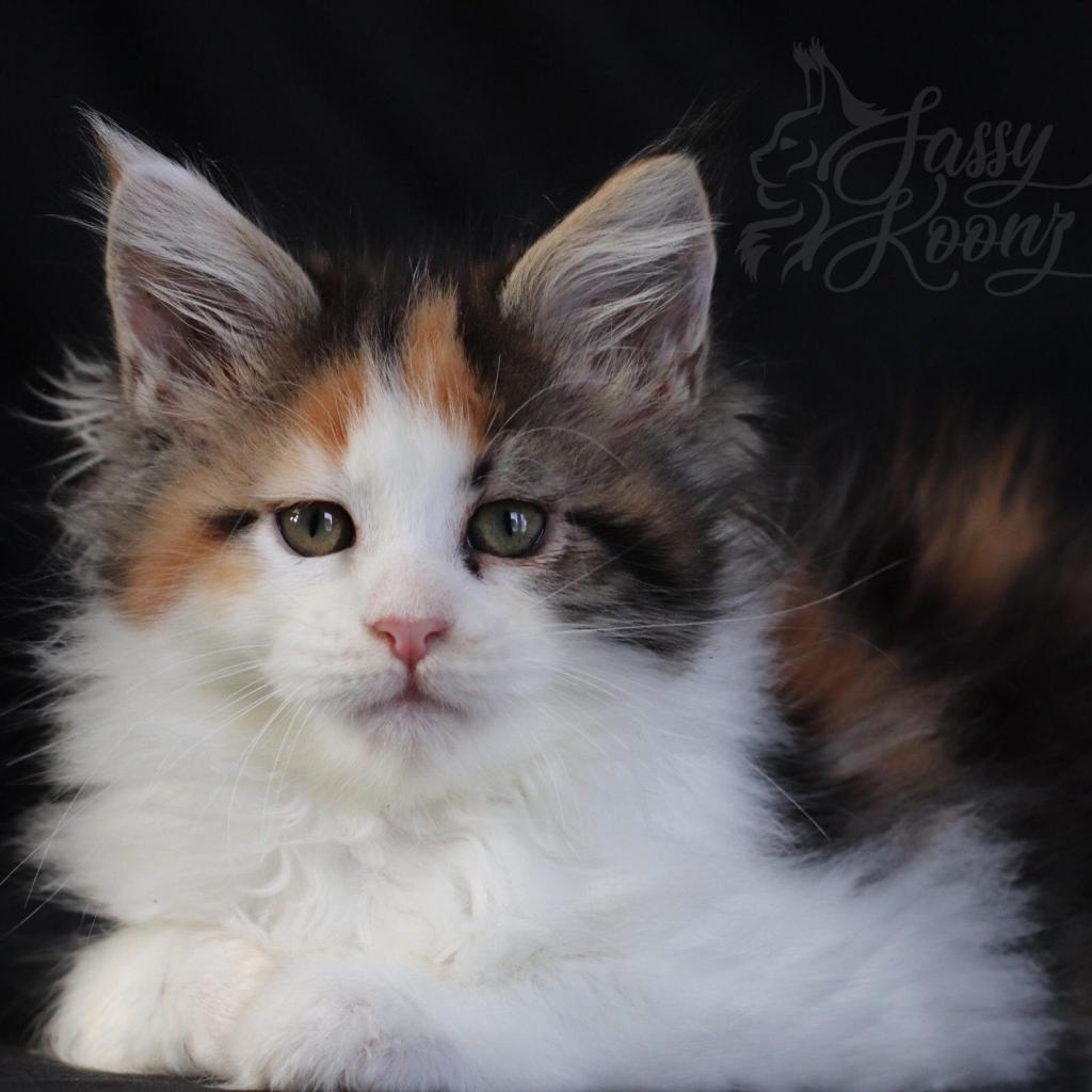 Maine coon breeders Florida